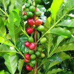 Рекордный урожай кофе в Бразилии может увеличить прибыль Starbucks