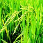 Мьянма начинает наращивать экспорт риса