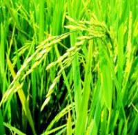 Мьянма (старое название страны - Бирма) когда-то была номером 1 в экспорте риса, после снятия санкций стремится вернуть себе этот статус