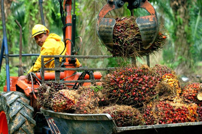 Производственный процесс на плантациях Sime Darby. Рабочий собирает грозди плодов масличной пальмы. Малайзия